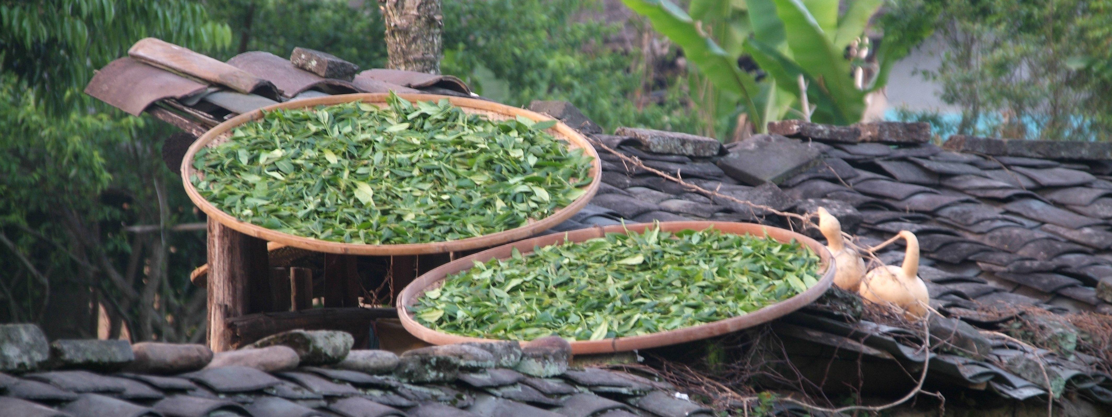 Tea-Garden-White-Tea-Withering_China