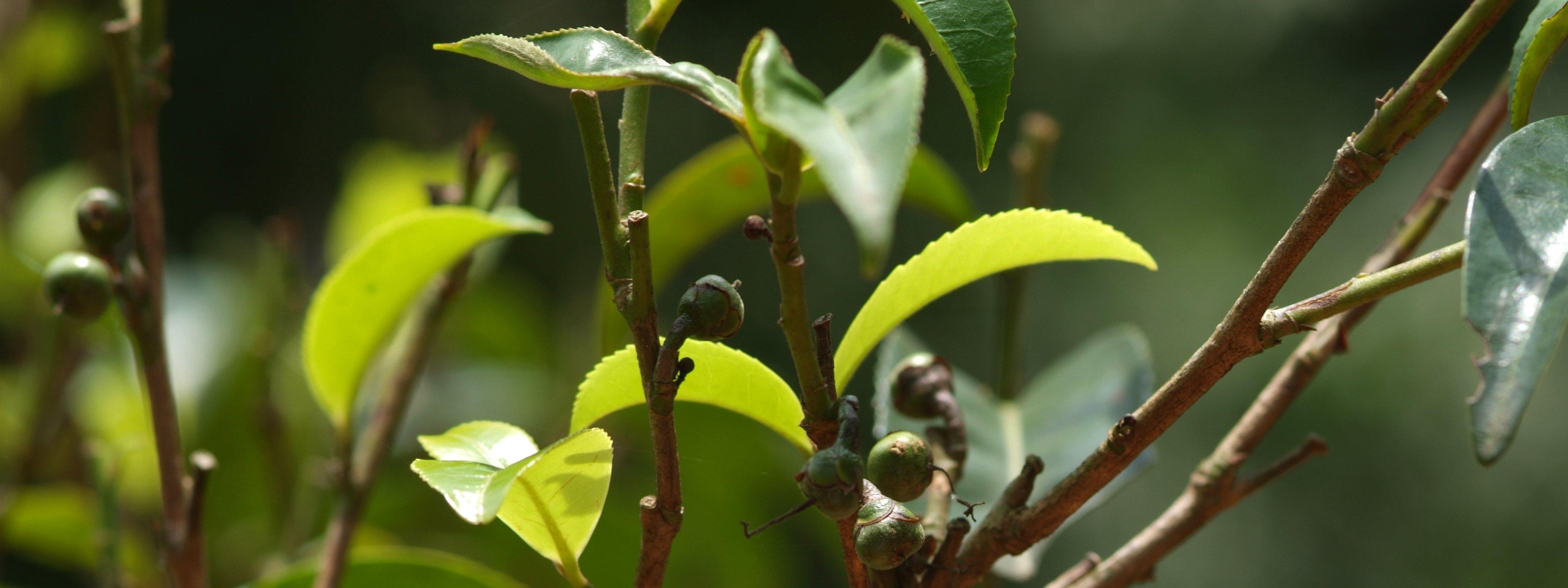 Tea-Garden_Wild-Puerh_Yunnan_China