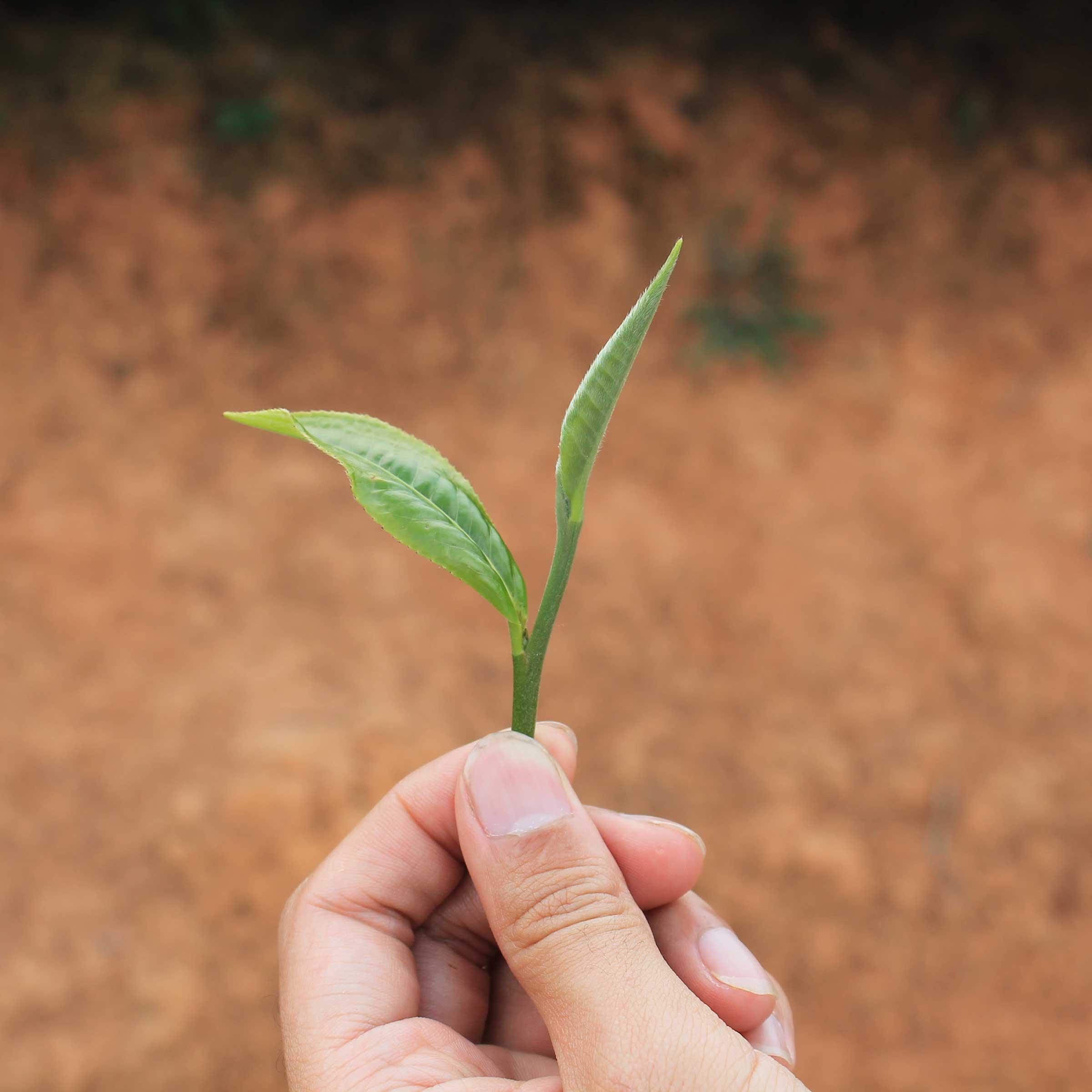 Raw Pu erh Tea Leaf
