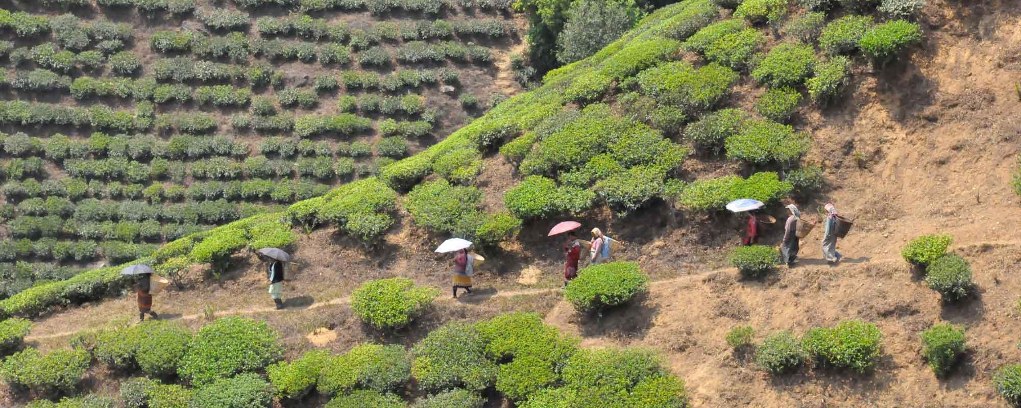 darjeeling-first-flush_tea-garden