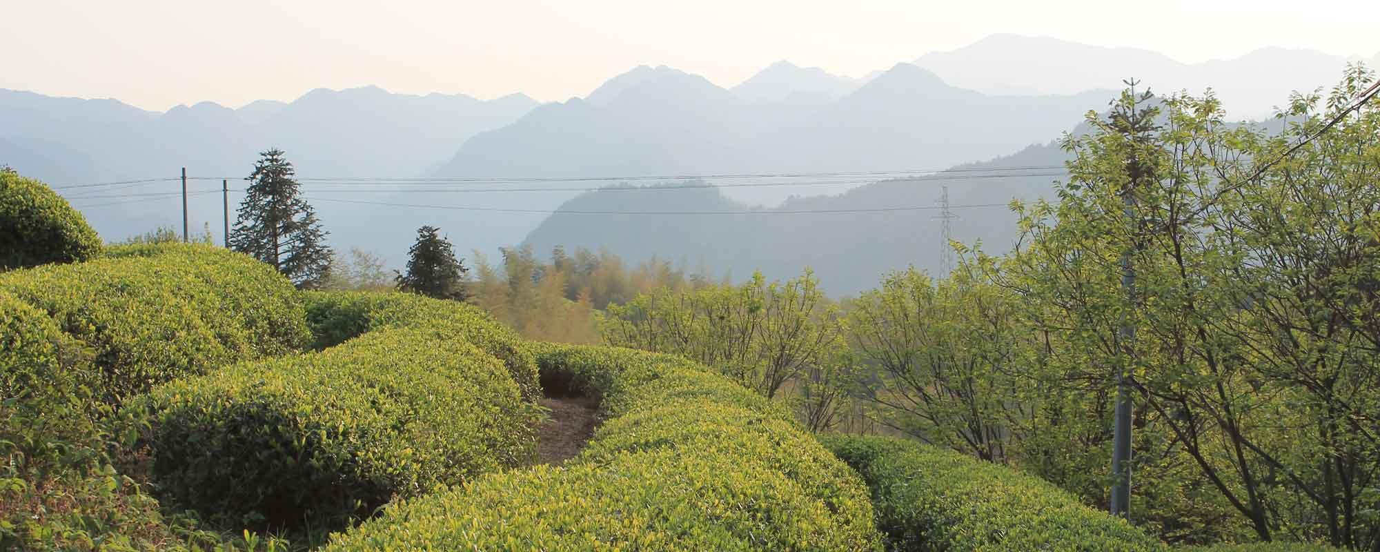 Chinese Tea Garden in Spring