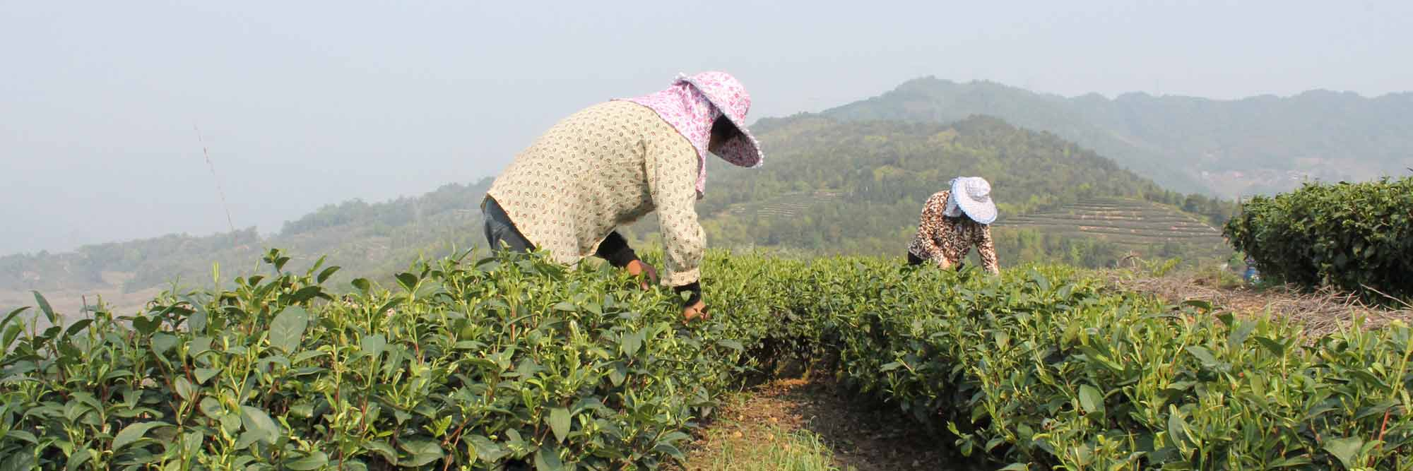 Picking our golden gong fu in China