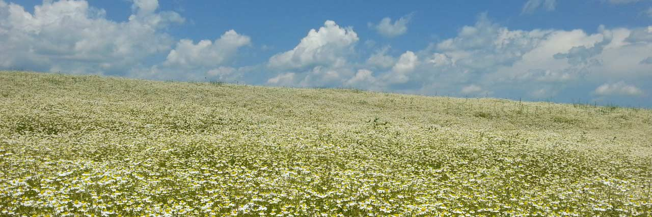 Field of Chamomile Flowers and blue sunny sky