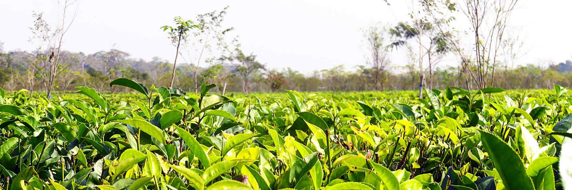 assam_tea-gardens_blog