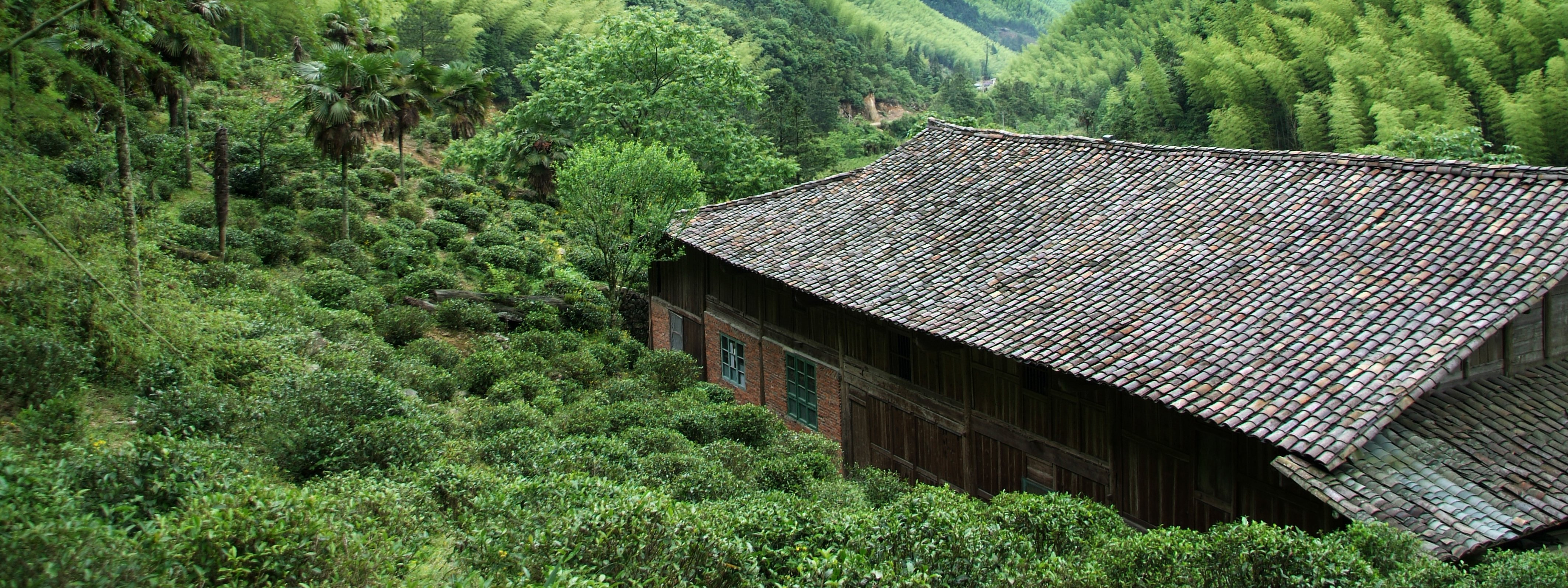 Tea-Garden_Bohea-Lapsang-Scenery_Wuyi_China