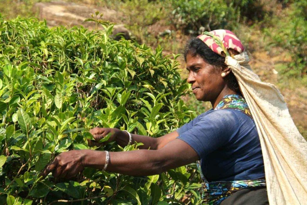 Woman Picking Earl Grey Tea Leaves