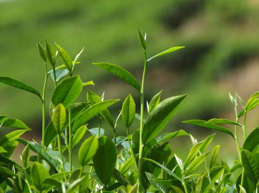 Tea Bushes on an Estate in Assam
