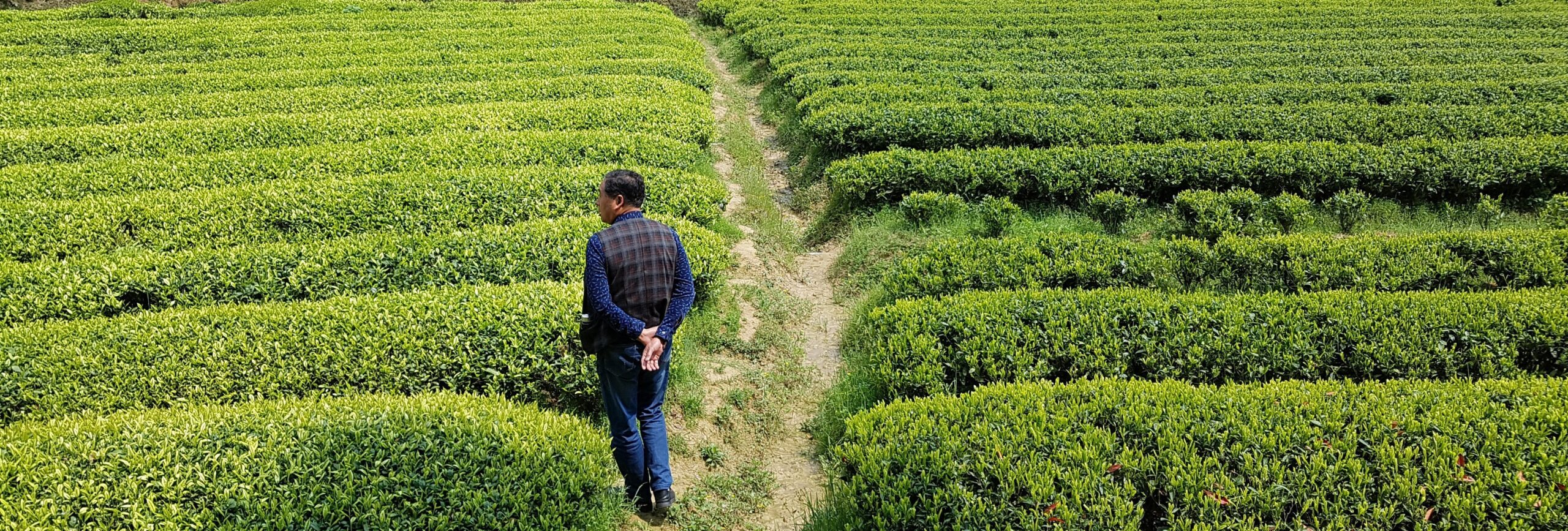 Sourcing Organic Chinese Tea In Spring
