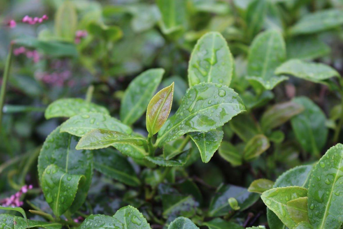 Organic Tea Garden