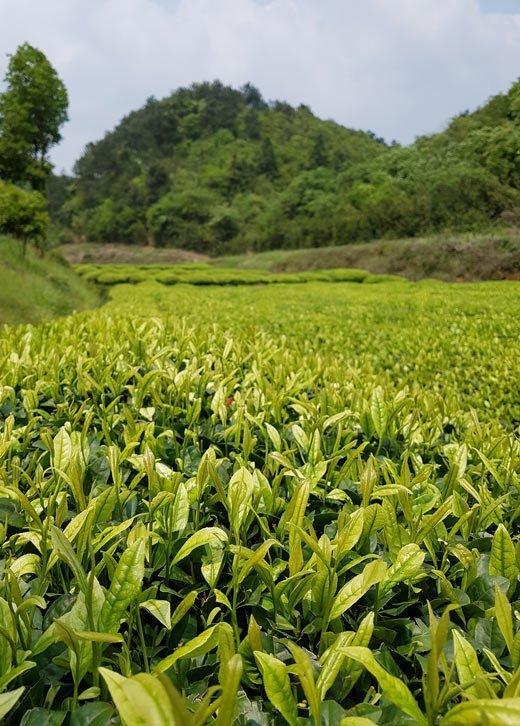 Tea Cultivar