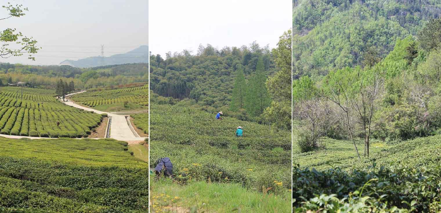 Sourcing Organic Spring Tea