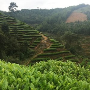 Wuyi Oolong Tea Garden