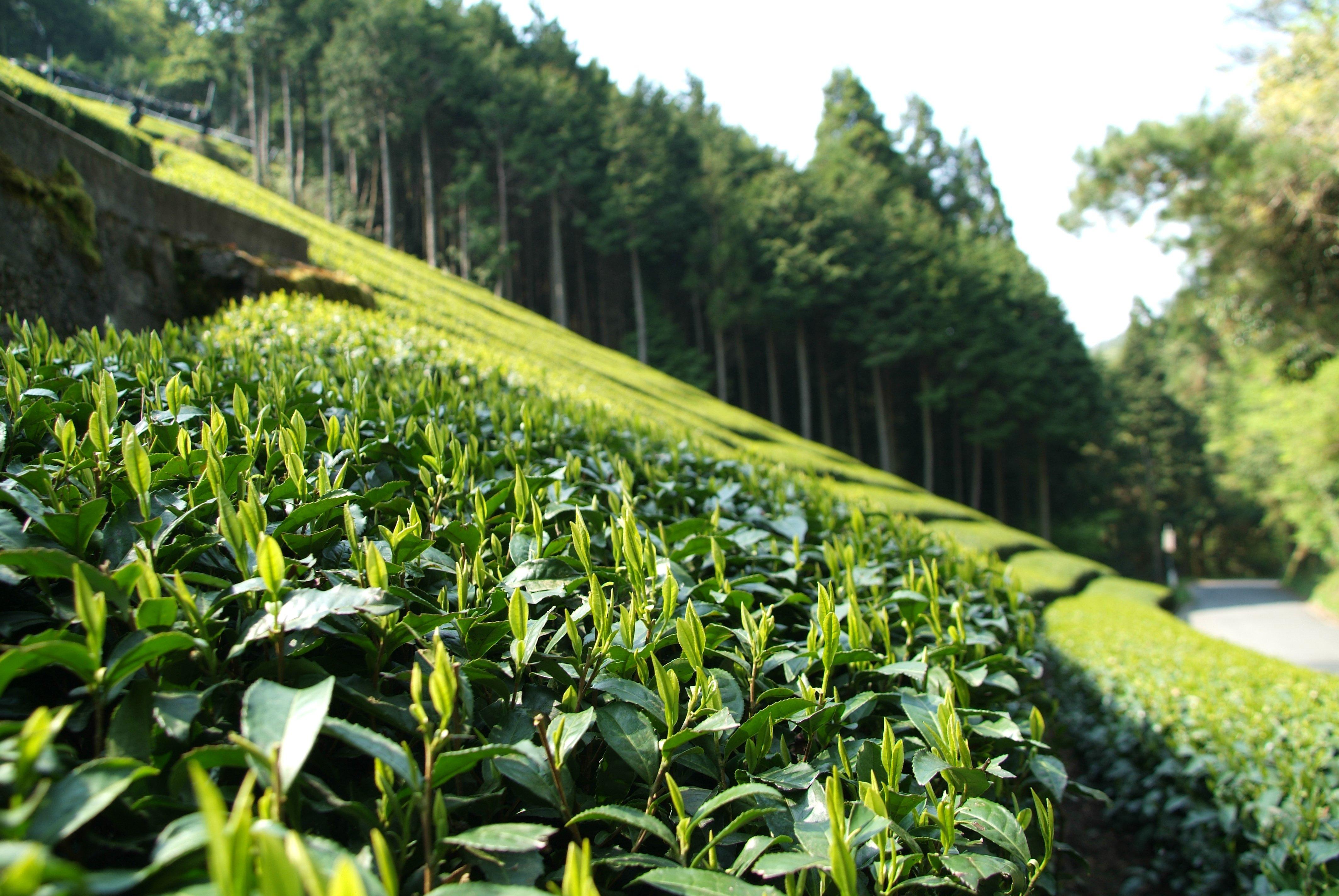 Matcha Tea Fields, Japan