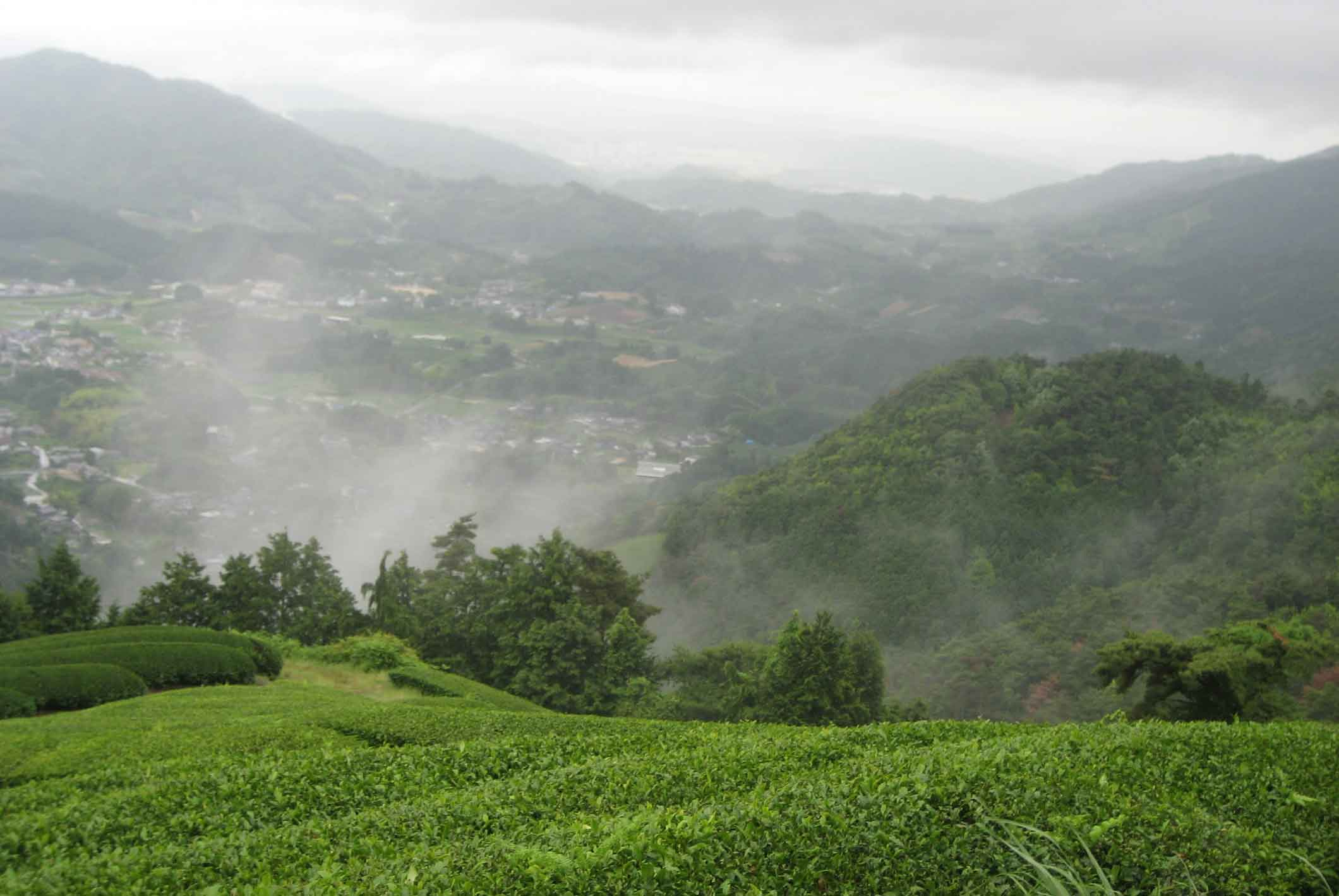 Shizouka Tea Fields, Japan