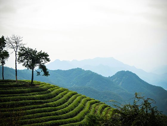 Hangzhou Green tea longjing dragon well china