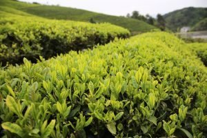 Tea Garden Hangzhou