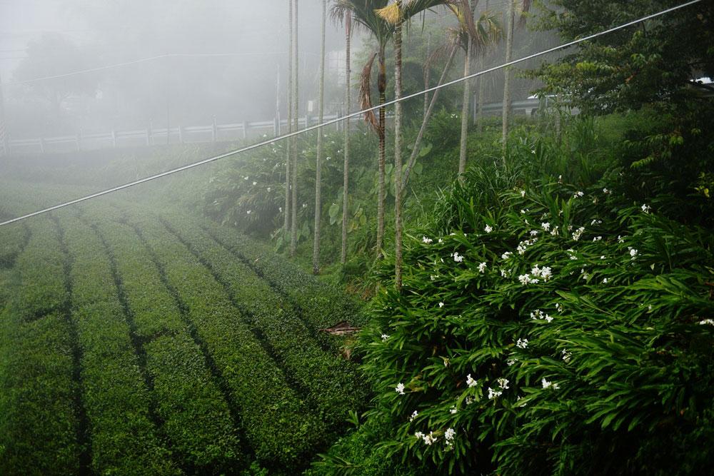 Ali-Shan Tea garden