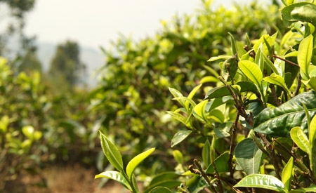 Yunnan Tea Bush