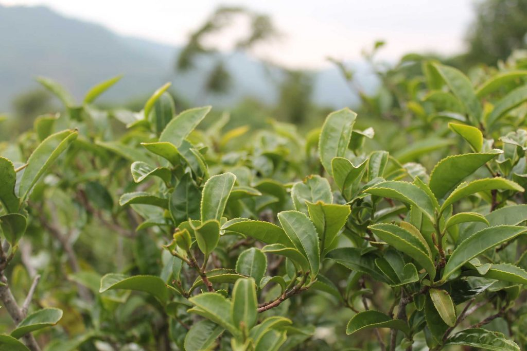 the Ruanzhi cultivar - thick bright green, lush leaves
