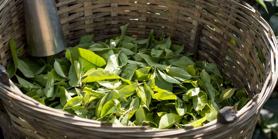 Hand-picked-tea-leaves,-waiting-to-begin-processing