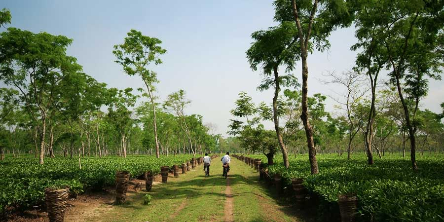 Locals-ride-through-a-scenic-tea-garden,-growing-in-the-lowlands-of-the-Brahmaputra-river-valley-in-Assam,-India