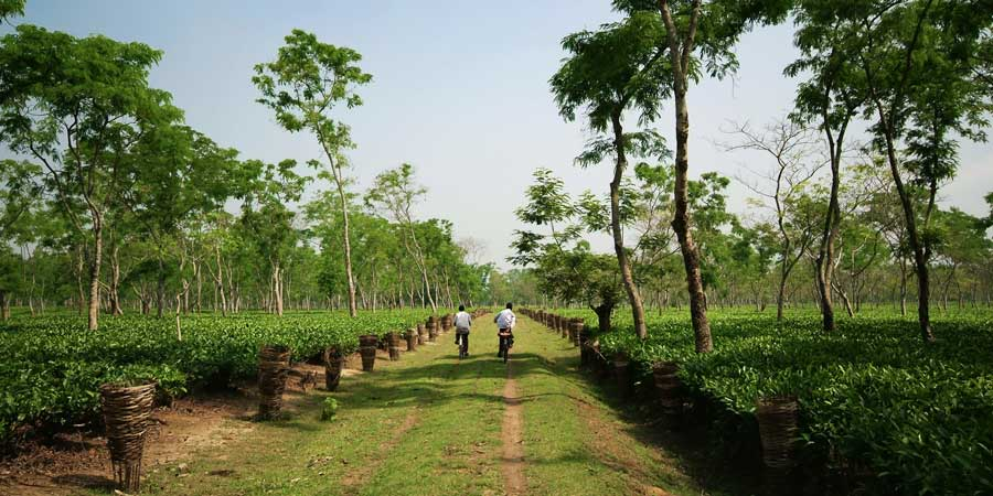 Locals-ride-through-a-scenic-tea-garden,-growing-in-the-lowlands-of-the-Brahmaputra-river-valley