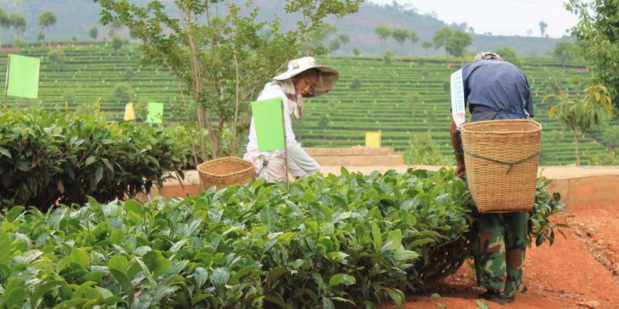 Picking-Puerh, Donghzai garden in Yunnan province, China