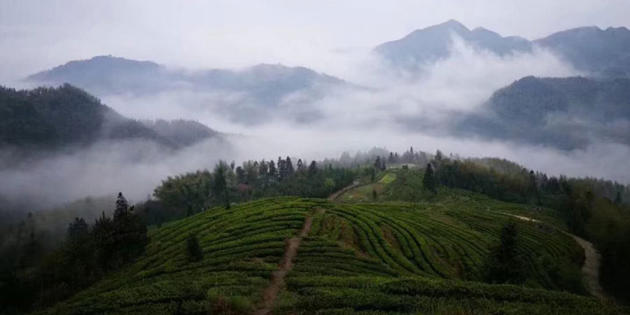 The-altitude-of-Baotian-garden-means-that-mist-often-forms-and-protects-the-tea-bushes-from-harsh-sunlight,-allowing-the-leaves-to-grow-slowly-and-develop-flavour