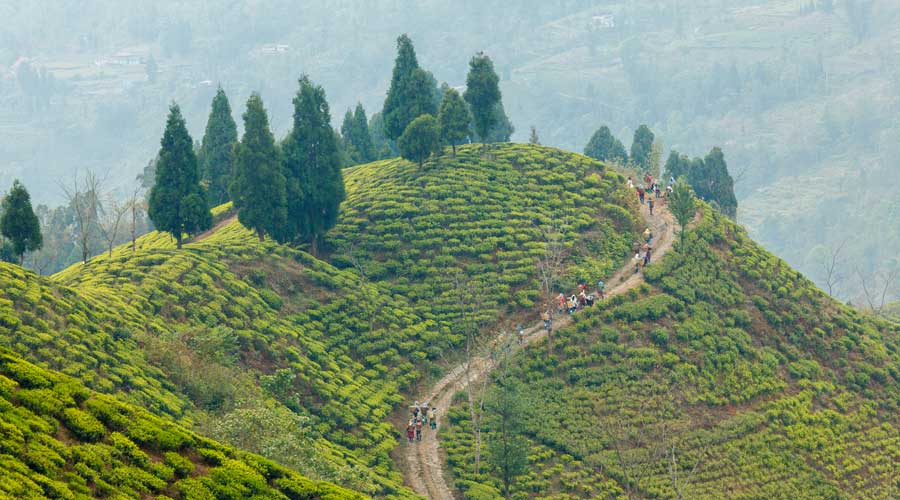 Unique landscapes in Darjeeling – Thurbo tea garden, April 2019