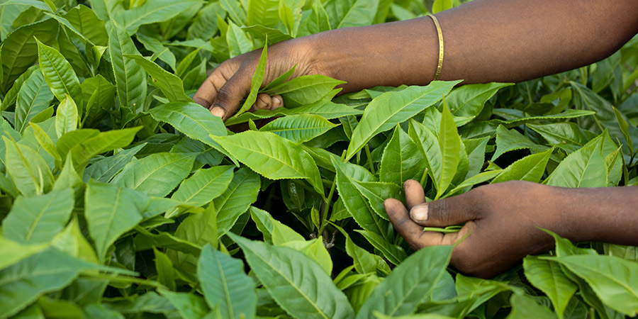 Picking Assam tea – notice the large, deep green leaves. Teas from Assam are rich and robust with loads of malty flavour