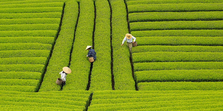 Rolling green tea hedges
