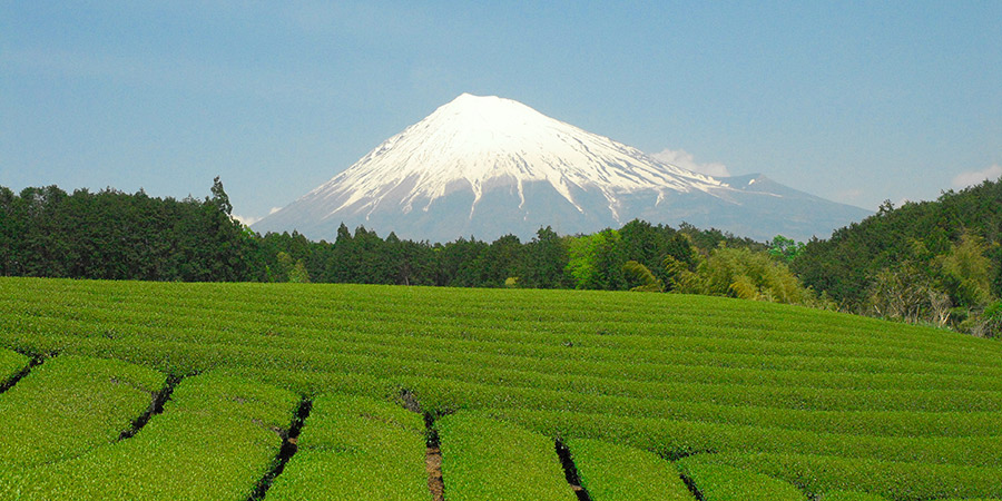 The iconic Mt. Fuji overlooks the tea garden