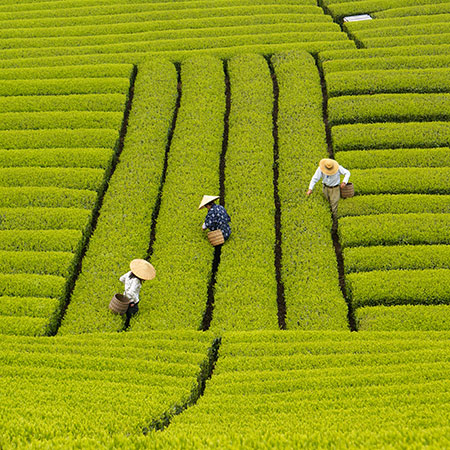 Contrasting-waist-high,-neatly-cultivated-tea-bushes-in-Japan