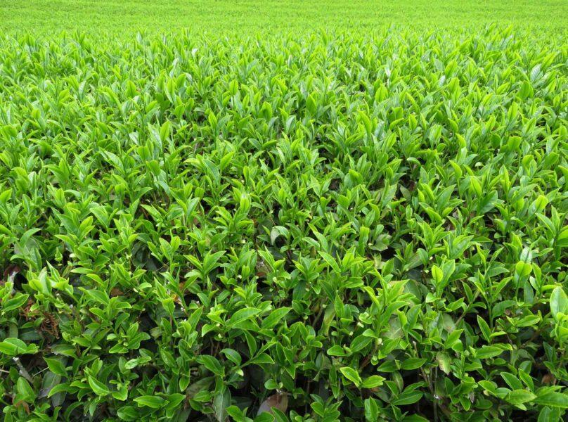 Tea Fundamentals: The Impact Of The Tea Bush On Taste