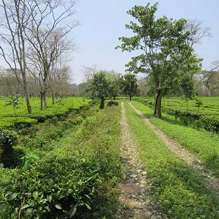 Harmutty Garden, in the east of the region - it's low lying and borded by the River Dikrong. the hills of neighbouring Arunachal Pradesh and rice paddies.