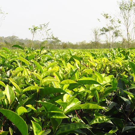 Large leafed Camellia sinensis var. assamica plants are native to Assam, India