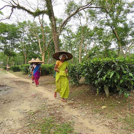 Local women on their way to work, Dejoo Garden, Assam.