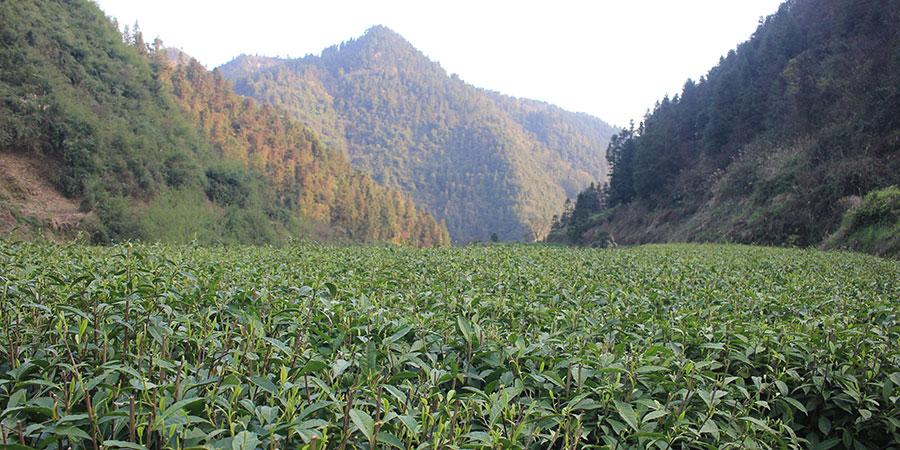 Mr Long's stunning tea garden in Ludong Mountain, Hunan