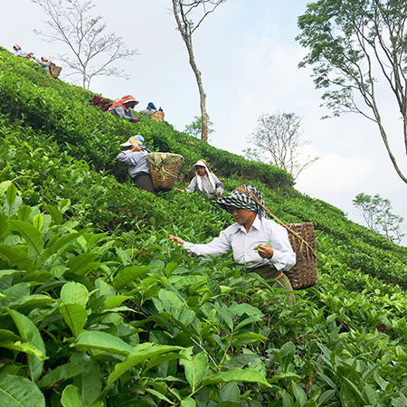 The AV2 cultivar produces fine leaves and large silvery buds - perfect for producing Darjeeling teas