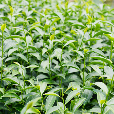 The Jin Xuan cultivar is known for producing a good yield of tea with a thick texture and milky flavour
