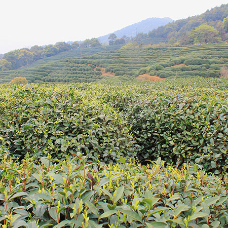 The Long Jing #43 cultivar is renowned for producing an abundance of early buds and young leaves
