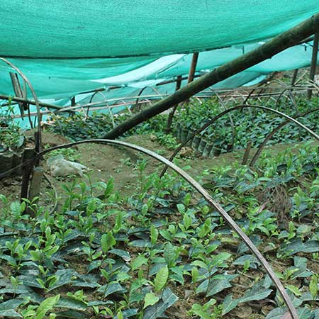 The gardens in both Assam and Darjeeling are always testing and looking for new clones of the tea bush that will be better adapted to new weather patterns