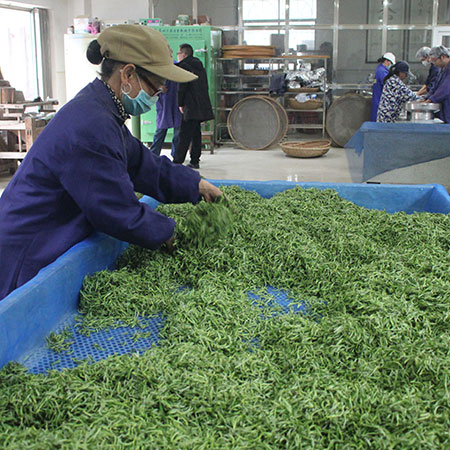 Vivid green pickings during the withering stage at the start of the tea making process