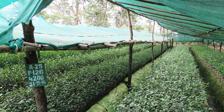 Young tea plants,of a new clone, planted in 2018 being nurtured in Harmutty. Tea bushes need a few years to grow before they are used in production.