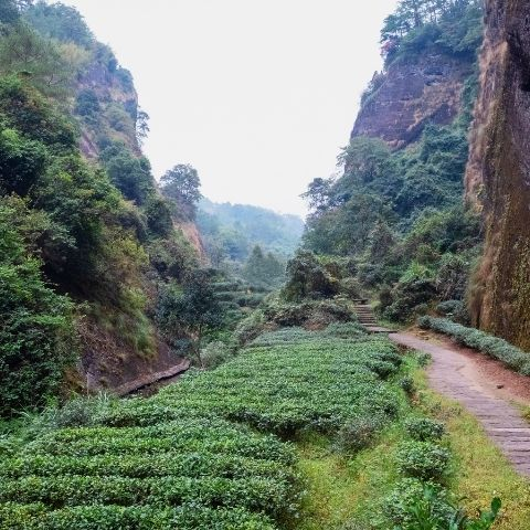 The mountains are sometimes craggy in Wuyi with the tea bushes growing wherever they can among them. From this, minerality is expected & sought after.