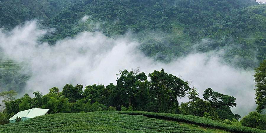 At 1,600m in the centre of the tropical island of Taiwan, the forested mountains of Shanlinxi have a year round fog