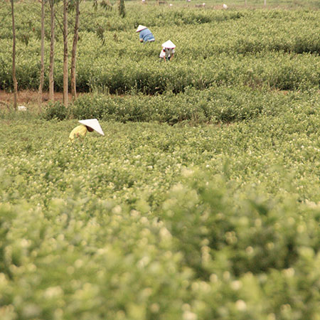 Early Summer mornings are a busy time in the jasmine gardens of Guanxi province