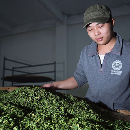 Evenly withered tea leaves are checked for the perfect texture and aroma before moving on to the oxidation phase.