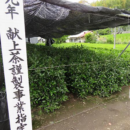 The prized garden where Ishiyama grew his supreme grade of Sencha for Emperor Naruhito.