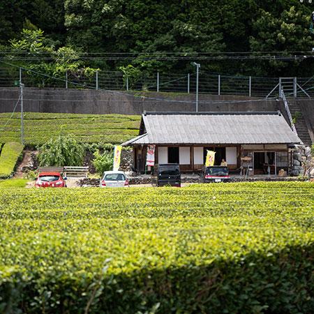 Ishiyama's Tea Shop, flanked by rows of tea bushes and bamboo